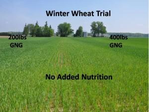 Winter wheat picture